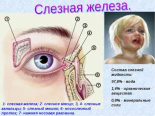 1- слезная железа; 2- слезное мясцо; 3, 4- слезные канальцы; 5- слезный мешо