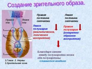 Правая половина сетчатки Левая половина сетчатки Левое полушарие (аналитическ
