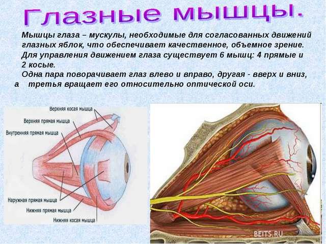 Мышцы глаза – мускулы, необходимые для согласованных движений глазных яблок,...