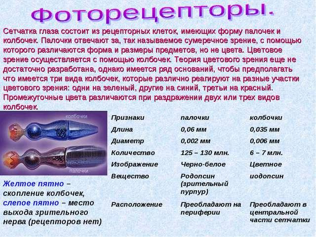 Сетчатка глаза состоит из рецепторных клеток, имеющих форму палочек и колбоче...
