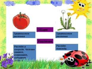 Общее Различие Травянистое растение Травянистое растение Растёт в огороде. Че