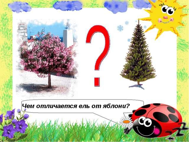 Чем отличается ель от яблони?