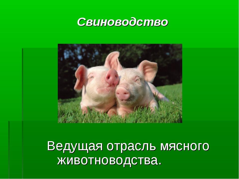 Свиноводство Ведущая отрасль мясного животноводства.