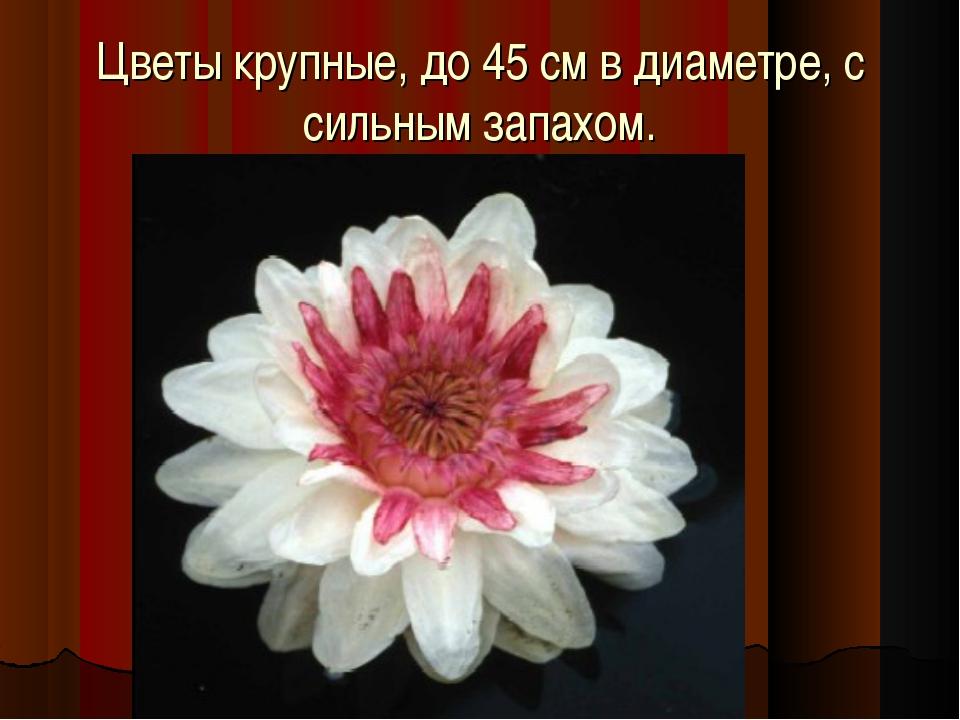 Цветы крупные, до 45 см в диаметре, с сильным запахом.