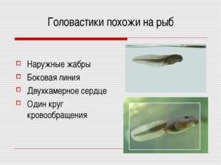 Головастики похожи на рыб Наружные жабры Боковая линия Двухкамерное сердце Од