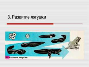 3. Развитие лягушки