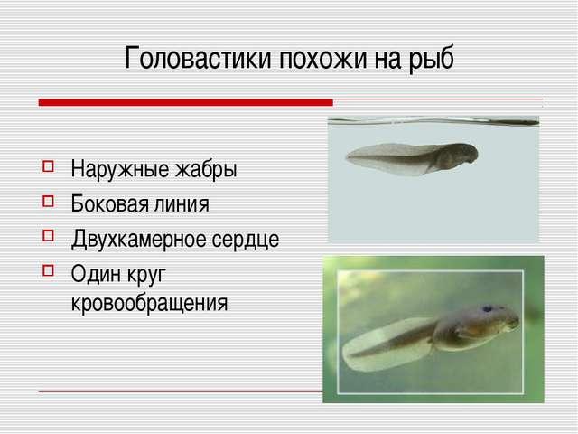 Головастики похожи на рыб Наружные жабры Боковая линия Двухкамерное сердце Од...