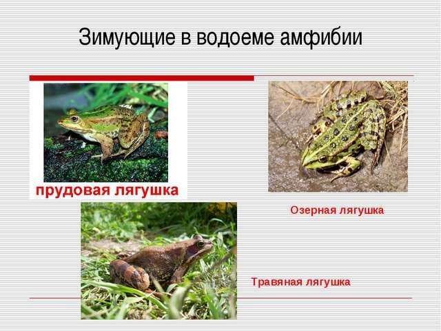 Зимующие в водоеме амфибии Озерная лягушка Травяная лягушка