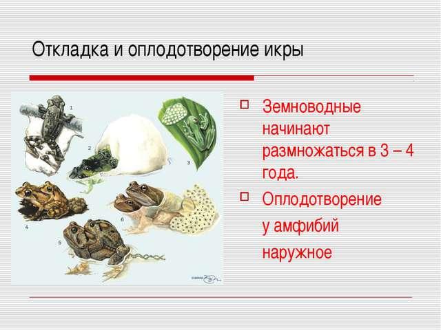 Откладка и оплодотворение икры Земноводные начинают размножаться в 3 – 4 года...
