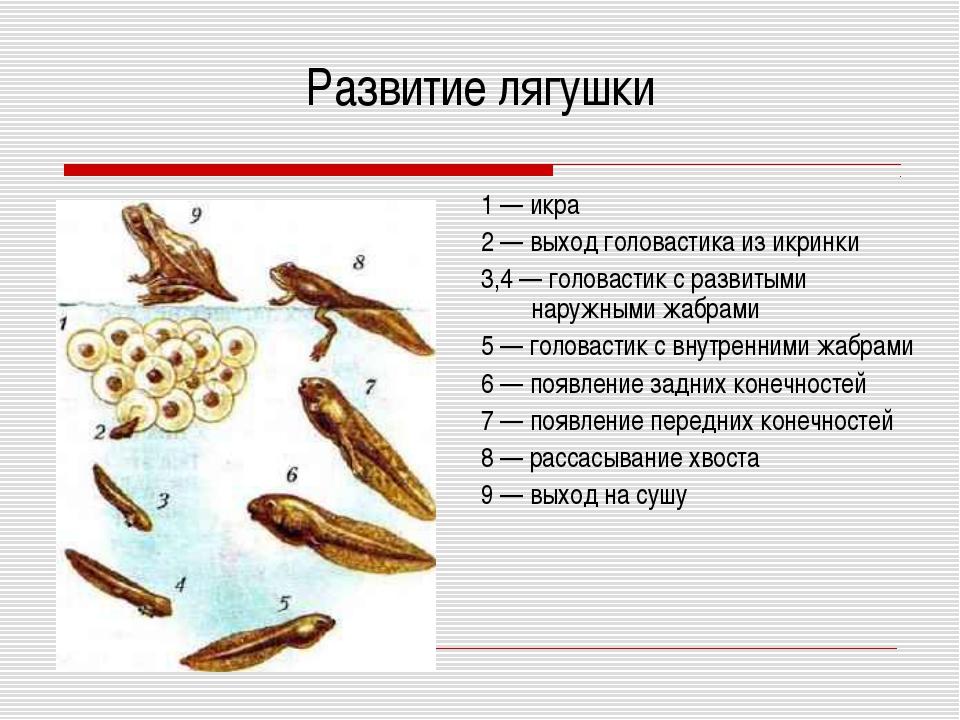 Развитие лягушки 1 — икра 2 — выход головастика из икринки 3,4 — головастик с...