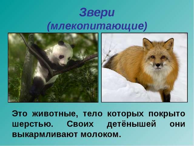 Звери (млекопитающие) Это животные, тело которых покрыто шерстью. Своих детён...