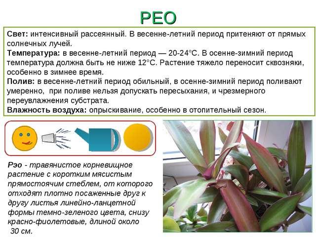 РЕО Рэо - травянистое корневищное растение с коротким мясистым прямостоячим с...