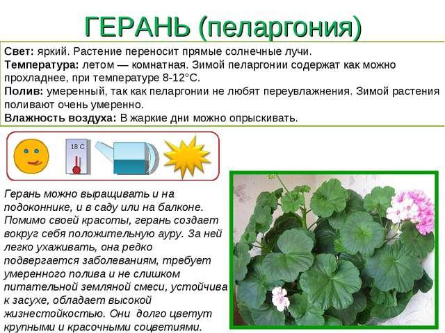 ГЕРАНЬ (пеларгония) Герань можно выращивать и на подоконнике, и в саду или на...