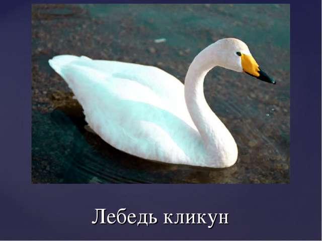 Лебедь кликун