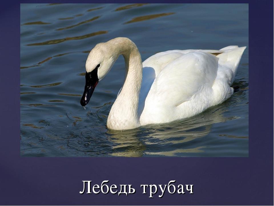 Лебедь трубач