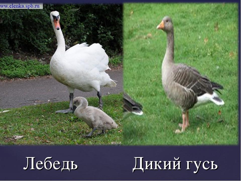 Лебедь Дикий гусь
