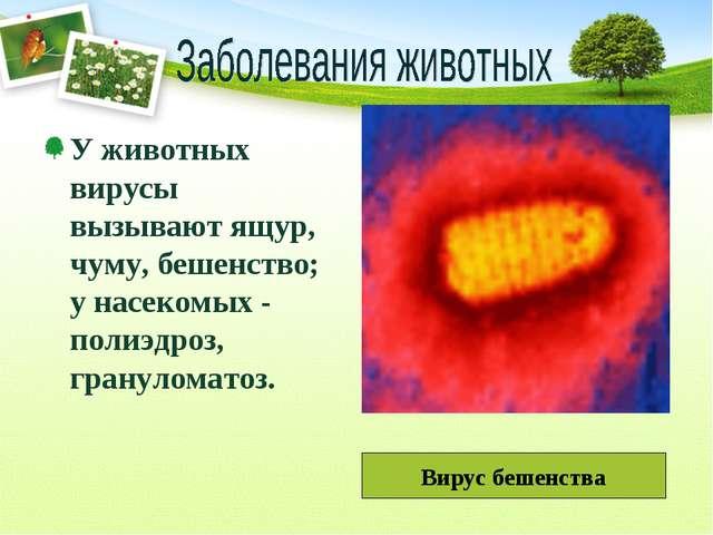 У животных вирусы вызывают ящур, чуму, бешенство; у насекомых - полиэдроз, гр...