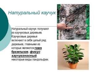 Натуральный каучук Натуральный каучук получают из каучуковых деревьев. Каучук
