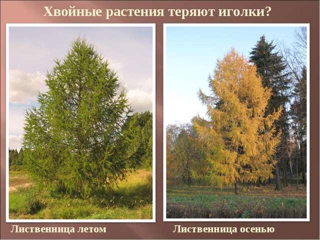 Хвойные растения теряют иголки? Лиственница летом Лиственница осенью