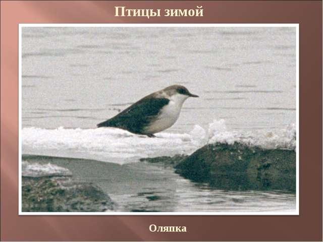 Птицы зимой Оляпка