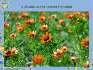 В начале мая зацветает горицвет