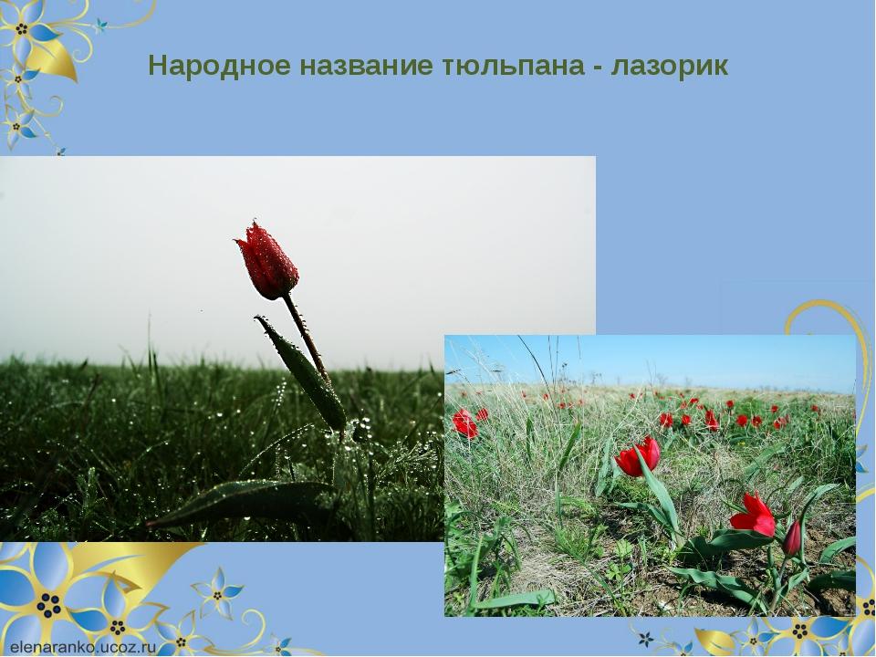 Народное название тюльпана - лазорик