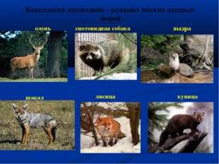 Кавказский заповедник - резерват многих пушных зверей олень шакал енотовидная