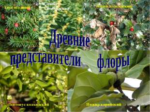 Тисс ягодный Самшит колхидский Падуб колхидский Лептопус колхидский Инжир кар