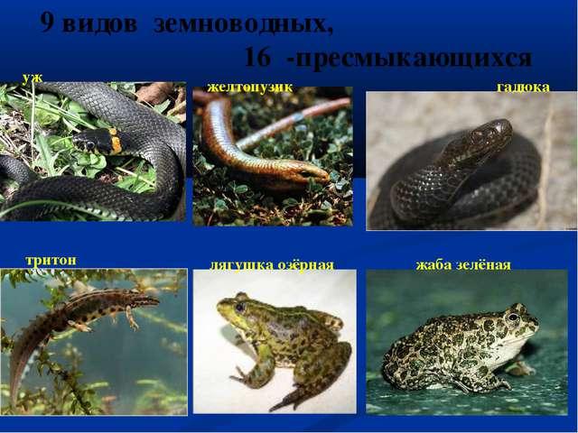 9 видов земноводных, 16 -пресмыкающихся уж гадюка желтопузик тритон лягушка...