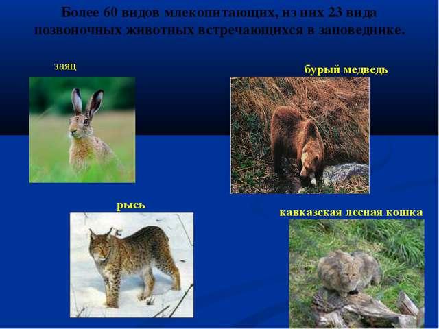 Более 60 видов млекопитающих, из них 23 вида позвоночных животных встречающих...