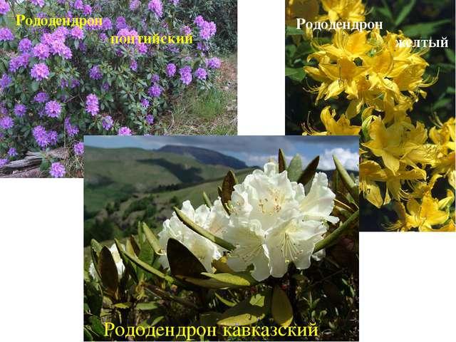 Рододендрон понтийский Рододендрон желтый Рододендрон кавказский
