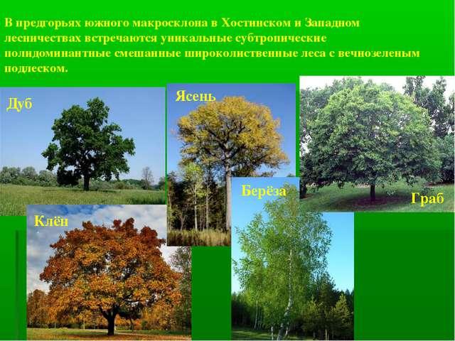 В предгорьях южного макросклона в Хостинском и Западном лесничествах встречаю...