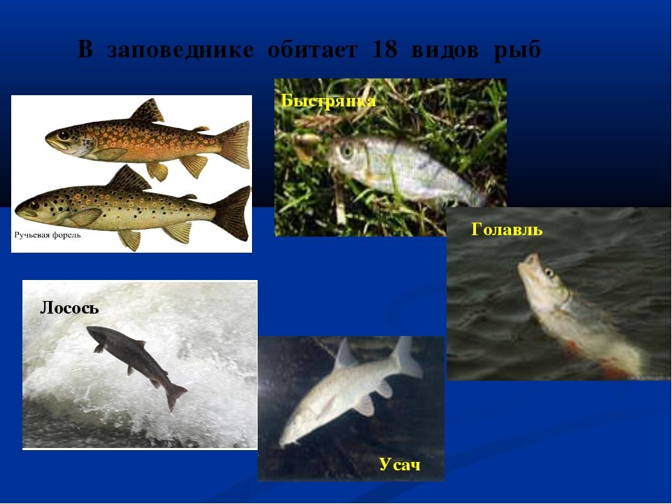В заповеднике обитает 18 видов рыб Лосось Быстрянка Голавль Усач