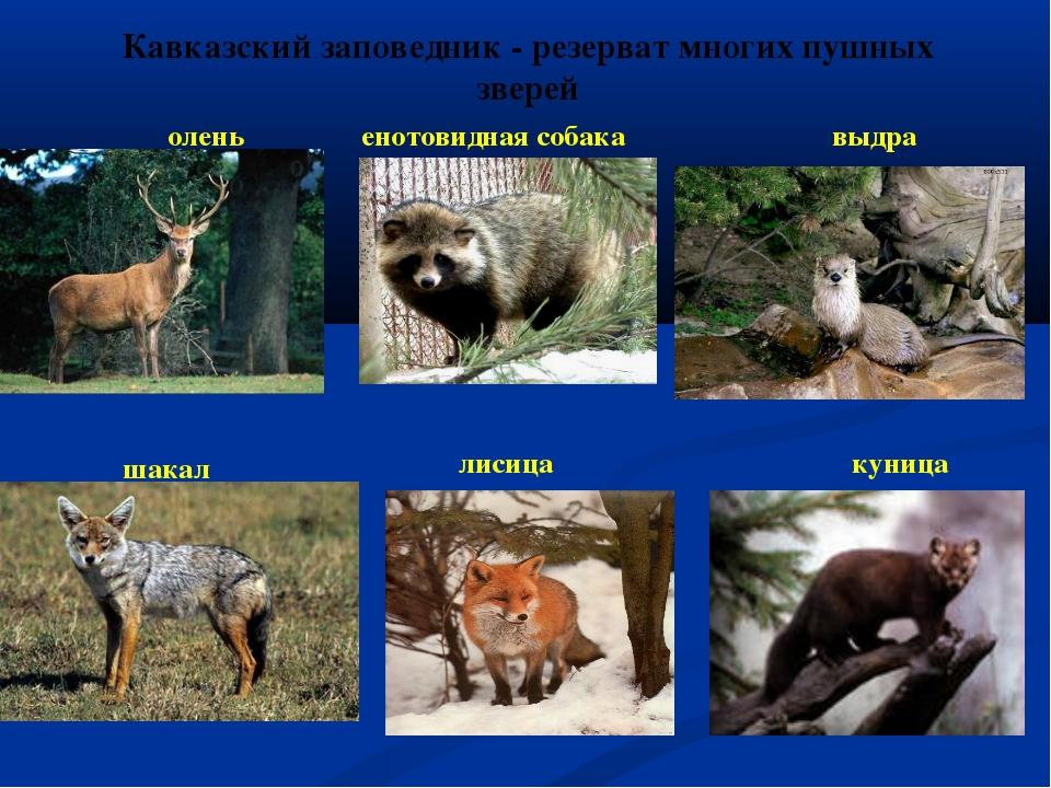Кавказский заповедник - резерват многих пушных зверей олень шакал енотовидная...