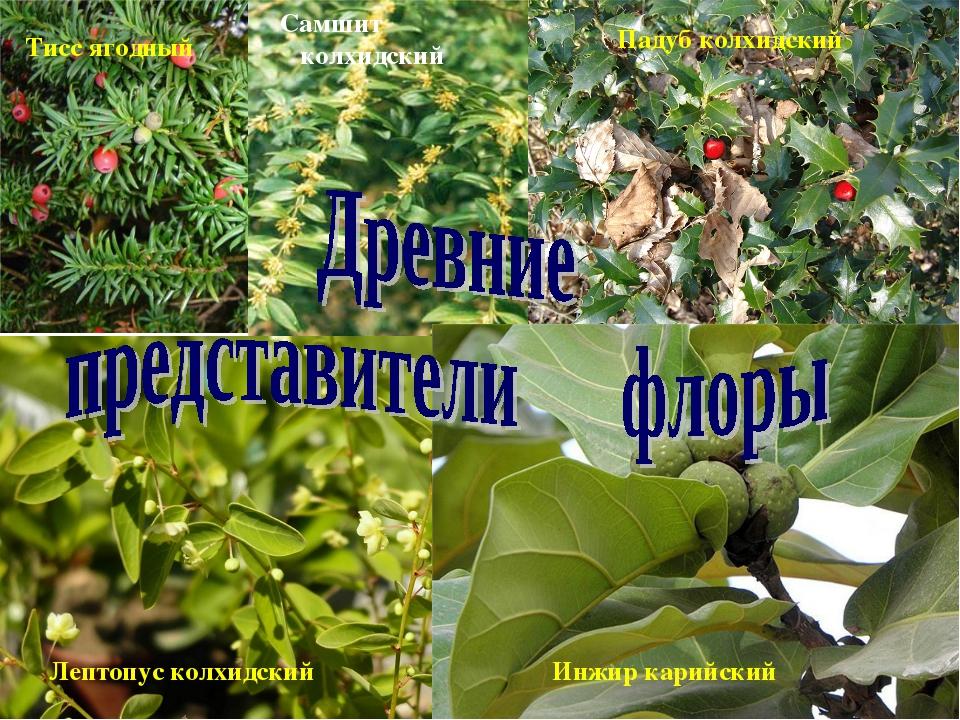 Тисс ягодный Самшит колхидский Падуб колхидский Лептопус колхидский Инжир кар...