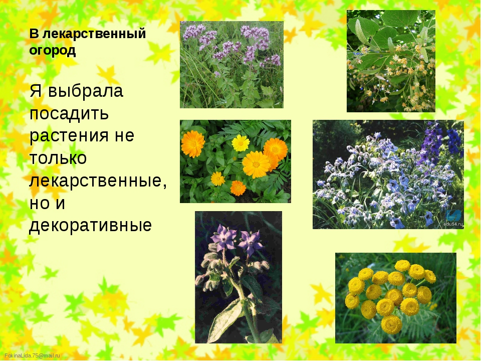 Я выбрала посадить растения не только лекарственные, но и декоративные Я выб...