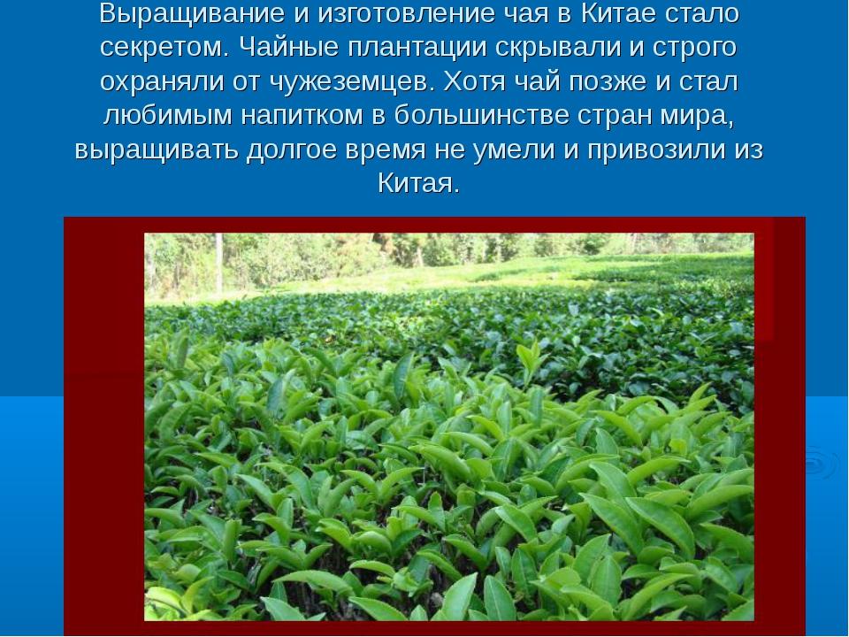 Выращивание и изготовление чая в Китае стало секретом. Чайные плантации скрыв...