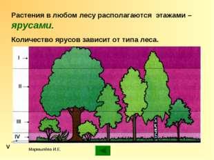Мармылёва И.Е. Растения в любом лесу располагаются этажами – ярусами. Количес