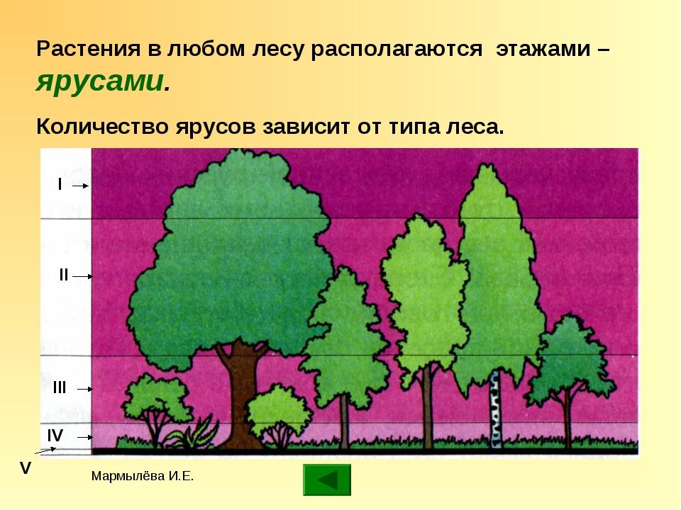 Мармылёва И.Е. Растения в любом лесу располагаются этажами – ярусами. Количес...