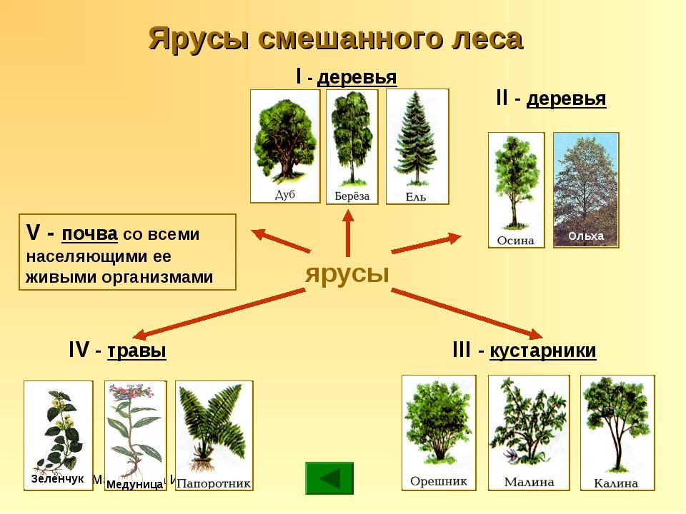 Мармылёва И.Е. ярусы V - почва со всеми населяющими ее живыми организмами I -...