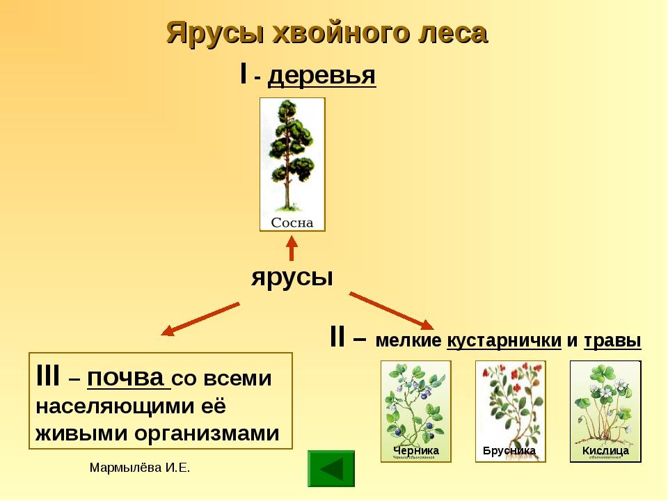 Мармылёва И.Е. Ярусы хвойного леса ярусы I - деревья II – мелкие кустарнички...