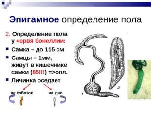 Эпигамное определение пола 2. Определение пола у червя бонеллии: Самка – до 1