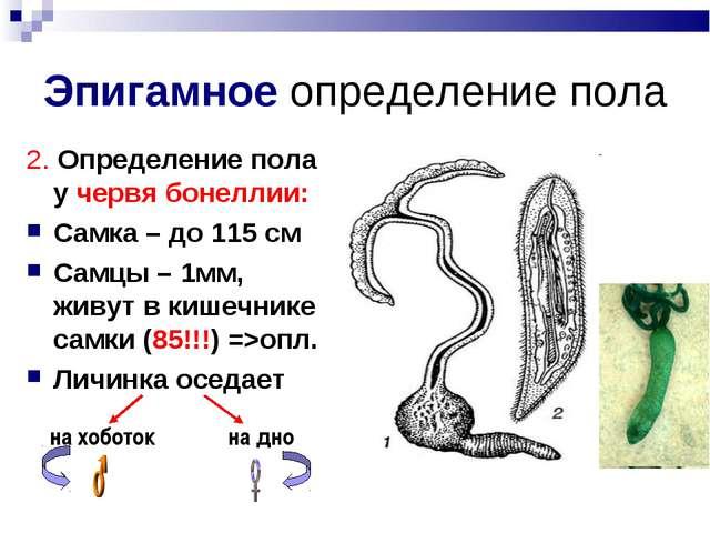Эпигамное определение пола 2. Определение пола у червя бонеллии: Самка – до 1...