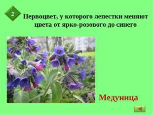 Первоцвет, у которого лепестки меняют цвета от ярко-розового до синего