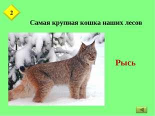 Самая крупная кошка наших лесов