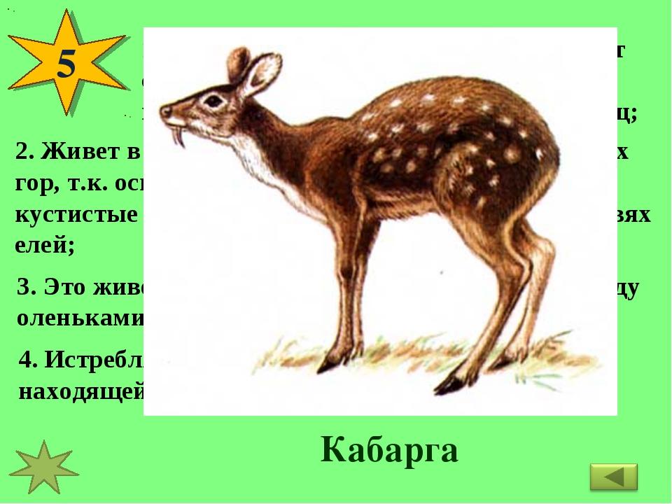 5 1. Это животное живет в одиночку, ведет себя очень осторожно; убегая от пре...