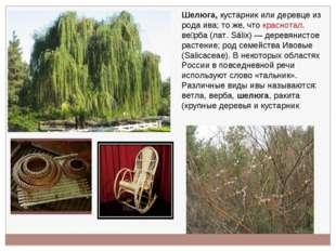 Шелюга, кустарник или деревце из рода ива; то же, что краснотал. ве́рба (лат.