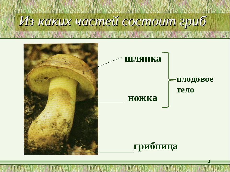 Из каких частей состоит гриб *