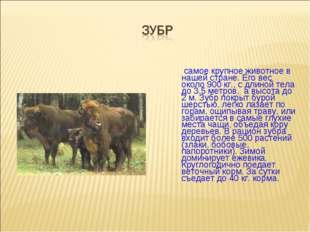 самое крупное животное в нашей стране. Его вес около 900 кг., с длиной тела