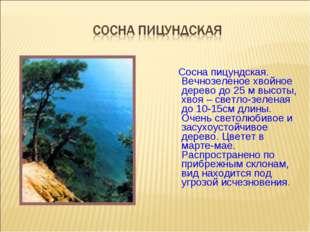Сосна пицундская. Вечнозеленое хвойное дерево до 25 м высоты, хвоя – светло-